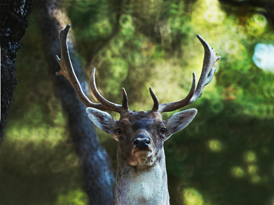 iii-bourazani-park-fallow-deer-2